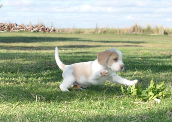 Cachorro Beagle Bicolor C/fca. Entrega En Caba