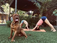Dogo De Burdeos Para Servicio. Cachorro 1 Año Excelente