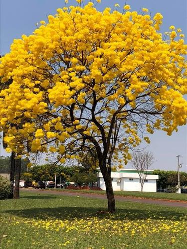 Imagem 1 de 9 de Sementes De Ipê Amarelo