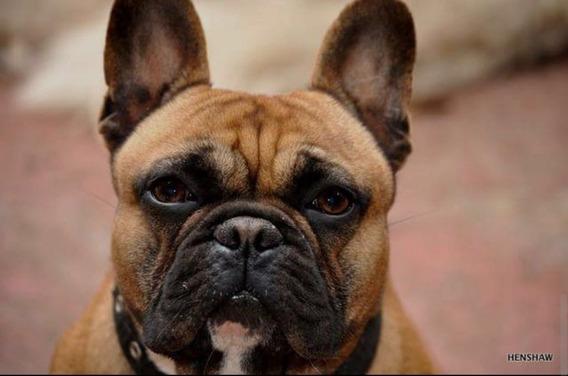 Bull Dog Frances, Fca, Exclente Lineas.