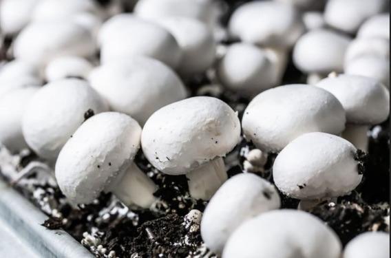 Micelio Semilla Para La Producción De Champiñón (1 Kg)