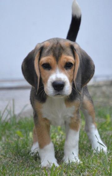 Cachorros Beagle - Ultimos!!!! 2 Machos