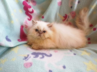 Gatos Persas