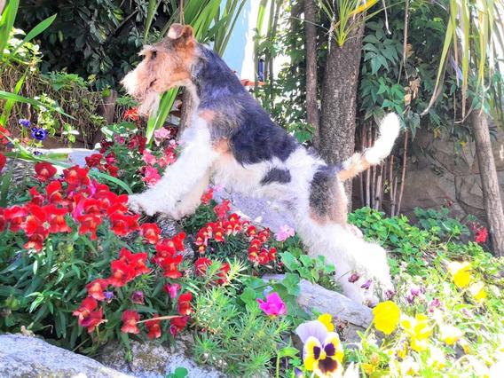 Cachorros Fox Terrier Wire Fca