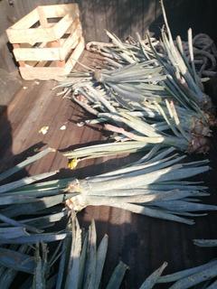 Lote 55 Plantas De Agave Azul Weber De Los Altos De Jalisco