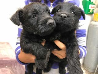Cachorros Terrier Escocés