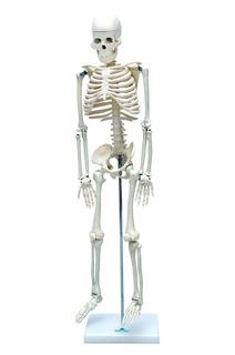 Esqueleto Humano Articulado De 85cm Altura, Anatomia Humana
