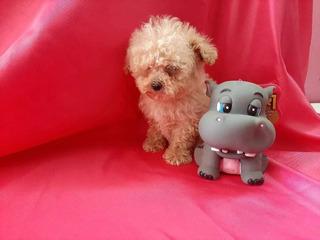 Bellos Enanos Frech Poodle Miniaturas Ideal Para Depas 18cm