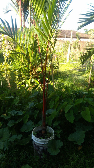 Muda 1,9m Palmeira Laca Vermelha Cyrtostachys Renda