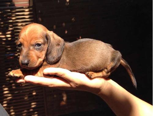Preciosos  Cachorros Dachshund Salchicha Miniatura