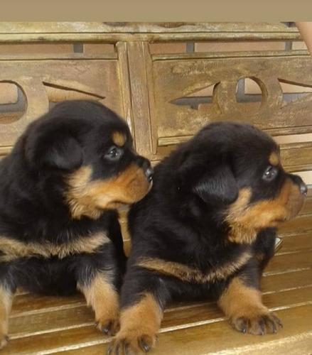 Filhotes Machos E Femeas De Rottweiler - Importados