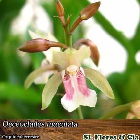 Muda Adulta De Oeceoclades Maculata Orquídea Terrestre