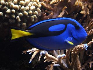Pez Paracanthurus Hepatus Dory Cirujano Azul Acuario Marino