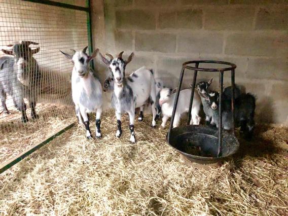 Vendo Mini Cabras Cabritos Minhaturas De Animais