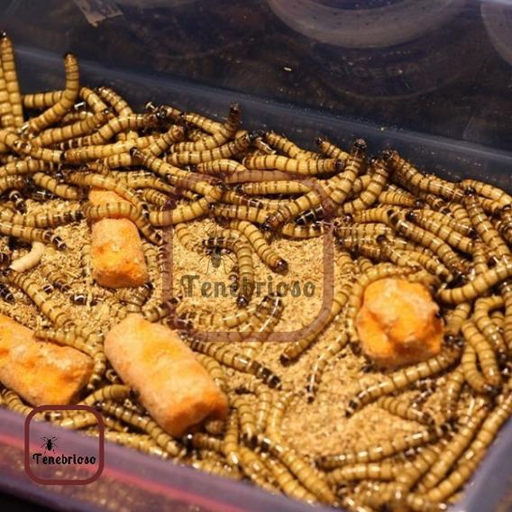 50 Larvas Tenebrio Gigante - Frete Grátis Br