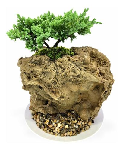 Bonsai En Piedra Fósil Pino Nana 4 Años Edad Base Porcelana