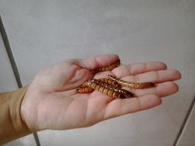 Tenebrio Gigante Em Cotia 200 Larvas