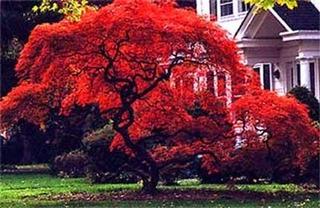 Maple Japones ( Arbol ) Acer Palmatum 1.20m Arce Japones *