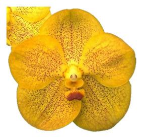 Orquídea Vanda Amarela
