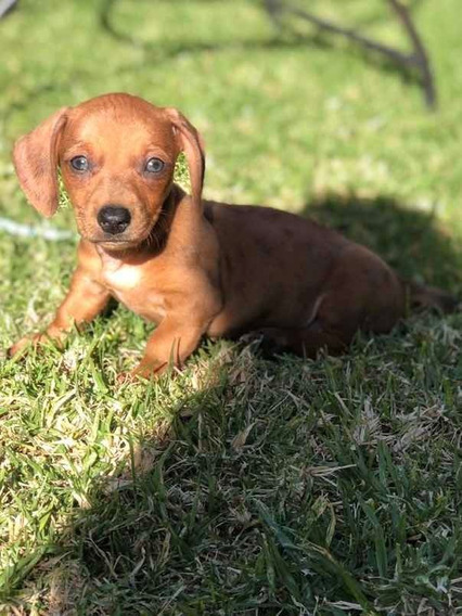 Perro Mini Salchicha Arlequin