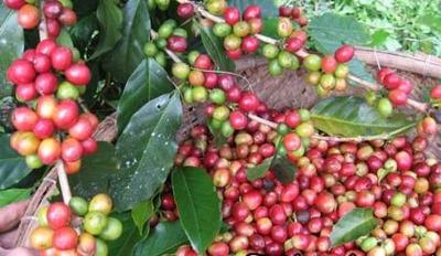 Coalición Vende 1000 Tareas Con Cafe En Jarabacoa
