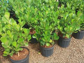 Clusia, Cruzia Arbusto - Mudas De 40cm