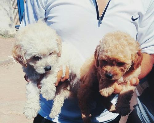 Filhotes  Poodle  Toy Vacina Vermífugo Saúde Excelentes