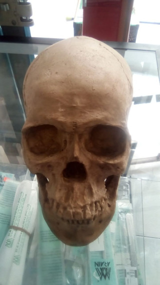 Replica En Resina De Cráneo Humano Articulado El Maxilar Inf
