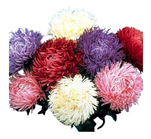 Sementes De Aster Pluma De Avestruz Sortida Flor