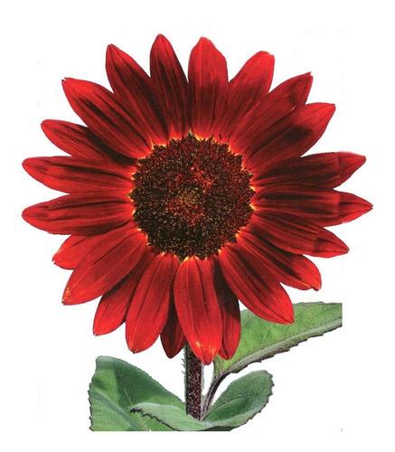 32 Sementes De Girassol Sol Vermelho Todo Ano Flor/canteiro