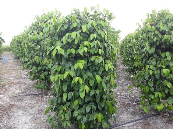Sítio Com 4,84 Hectare Com Pimenta Do Reino E Área Comercial