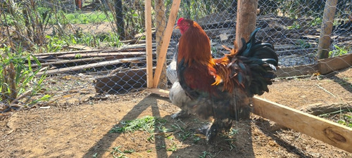 Imagem 1 de 5 de Ovos Galados De Brahmas