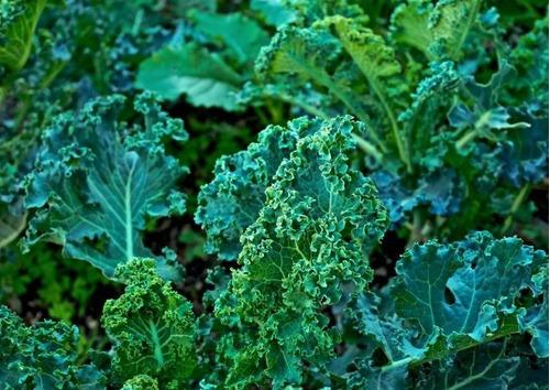 Semillas De Kale - Huerta Orgánica