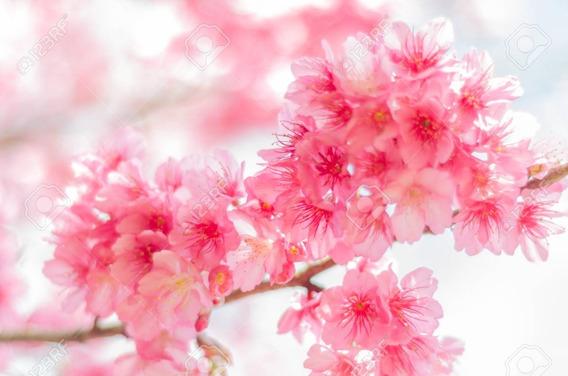 Cerezo Japones - Planta Flor Rosa Somei Yoshino 1.40 M Var.