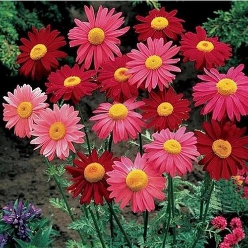 Imagen 1 de 4 de Sobre Para Sembrar 15 Plantas Piretro Margaritas De Colores