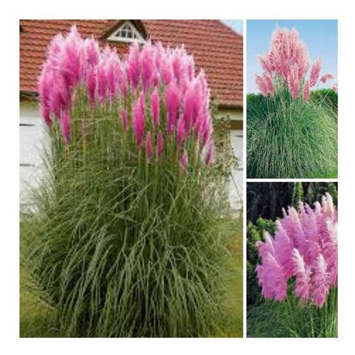 Imagem 1 de 6 de Capim Dos Pampas Rosa Grass Cortaderia Pink Sementes