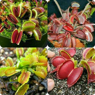 Plantas Carnivoras Venus Atrapamoscas Y Muchas Mas!!