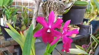Orquídea Kirchara