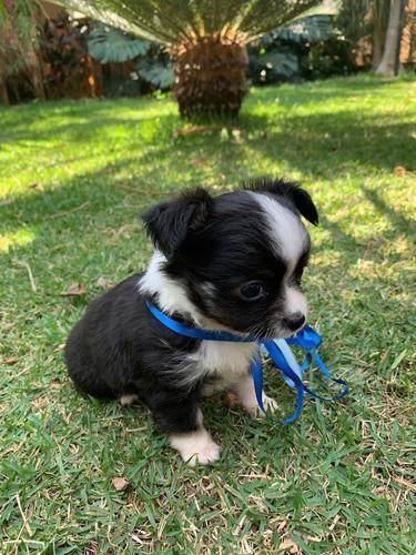 Imagem 1 de 1 de Chihuahua Macho Pelo Longo