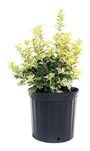Osmanthus Heterophyllus Goshiki False Holly Evergreen 2 Cont