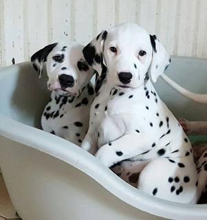 Gorgeous Kc Registrado Cachorros Dálmata