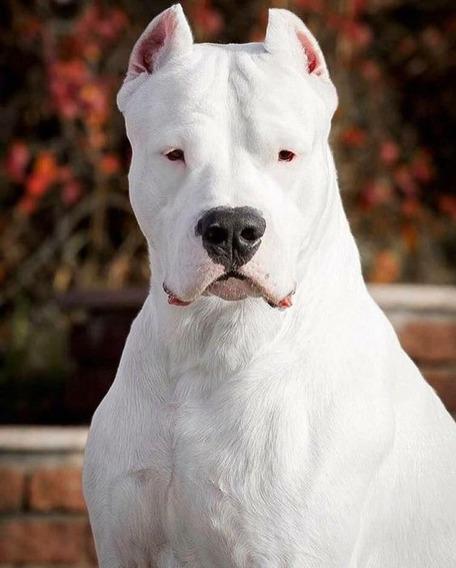 Dogo Argentino Diversión Criamas
