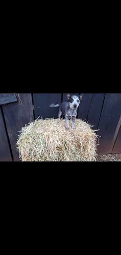 Imagem 1 de 1 de Cachorro Da Raça Boiadeiro