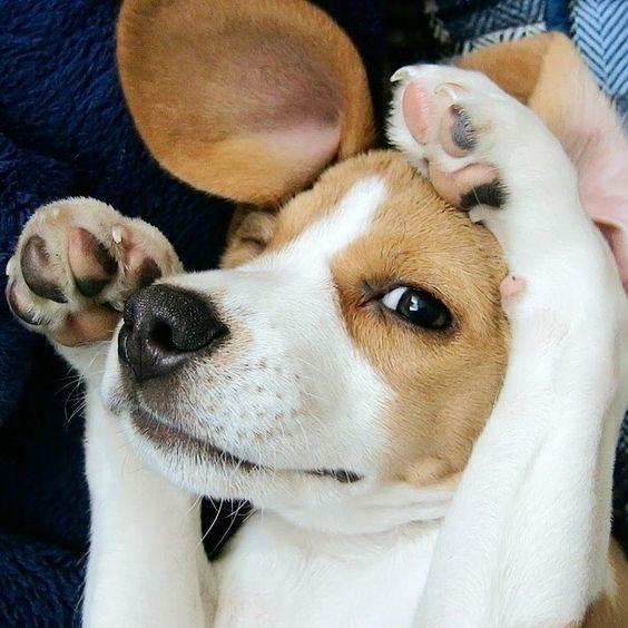Beagle Cachorros Criamas Amor Fca
