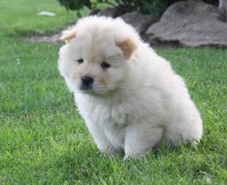 Chow Chow Cachorros Para Adopción