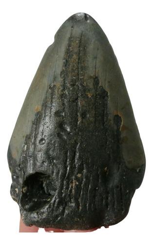 Imagen 1 de 8 de Diente Gigante Tiburón Megalodon Fósi Dinosaurio Monstruo