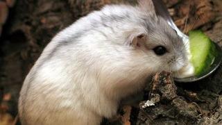 Venta De Hamsters Rusos
