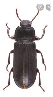 Insecto X 5 Escarabajos Tenebrio Zophobas Gorgojos Envios