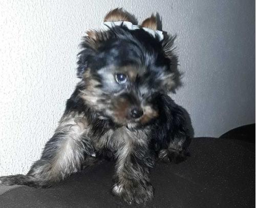 Filhotes Yorkshire Terrier - Macho Peq. R$ 800,00