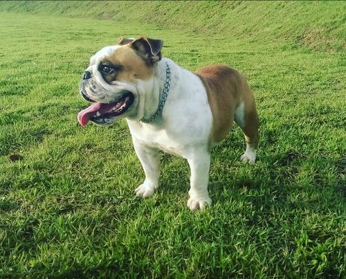 Bulldog Inglês Macho Para Cruza Com Pedigree